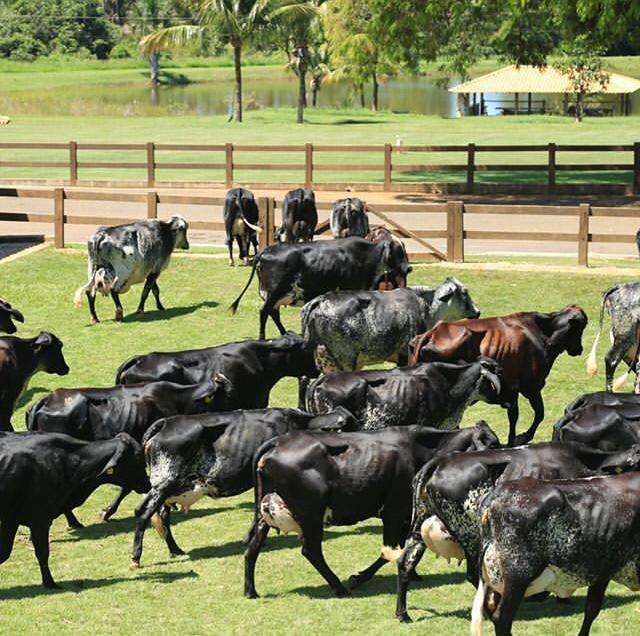 vaca girolando pr