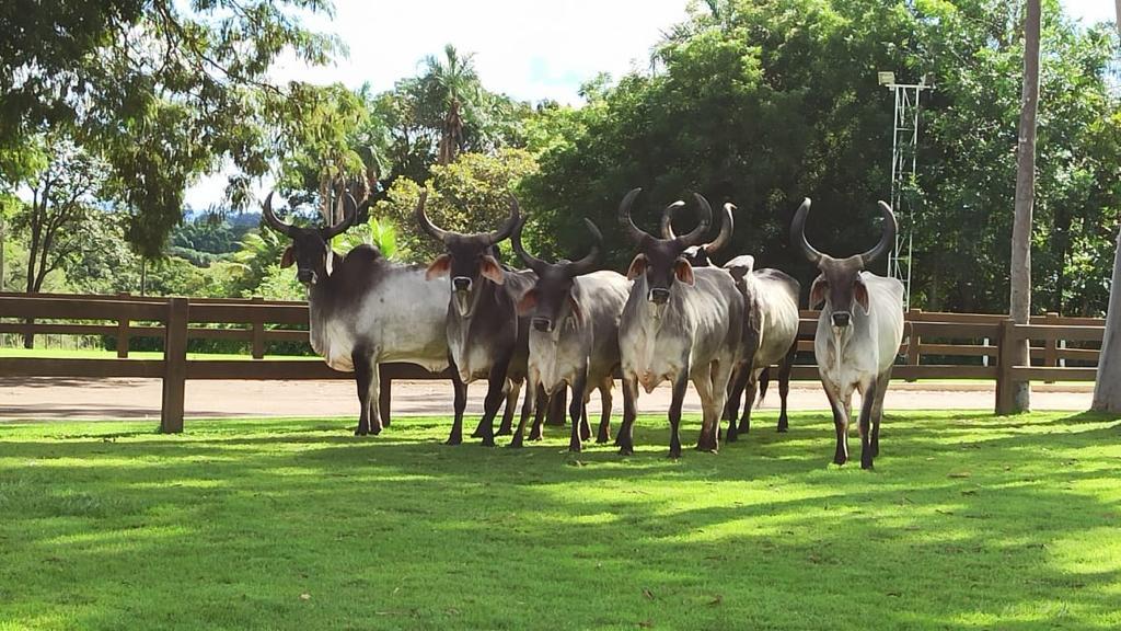 vaca guzera