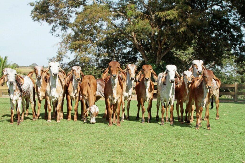 vacas-leiteiras-venda
