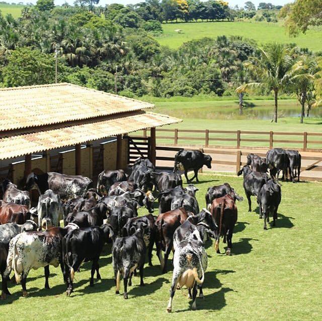 gado em Minas Gerais